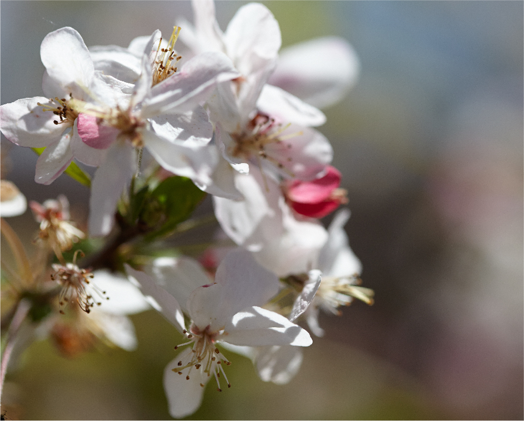 carmel flowers
